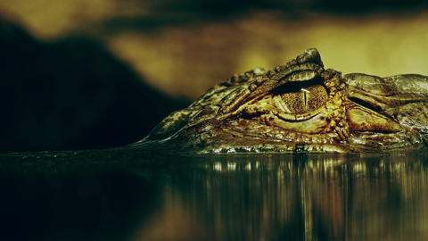 4K Eye of Crocodile Cayman (Caiman Crocodilus) Opens and Looks Directly At Footage