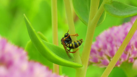 4K Clumsy Aimless Wasp Tries to Climb Grass Stalk, but Fails, Changes Plans Footage