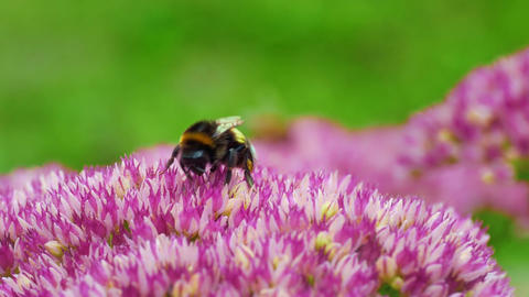 4K Bumble Bee Collects Pollen on Sedum Flower Late Summer Day Footage