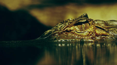 1080p Eye of Crocodile Cayman (Caiman Crocodilus) Opens and Looks Directly Footage