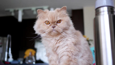 4k resolution of persian cat sitting on computer and playing with people 画像