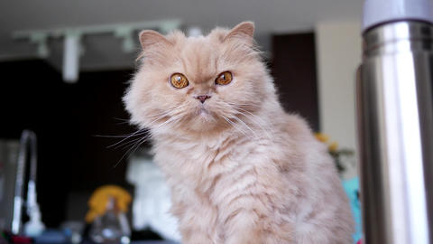 4k resolution of persian cat sitting on computer and... Stock Video Footage