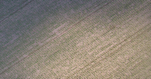 Drone flight over over rows of corn or maize Footage