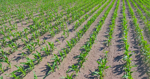 Low level drone flight over rows of corn Filmmaterial