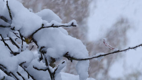 Close up of a thick layer of snow on branches Footage