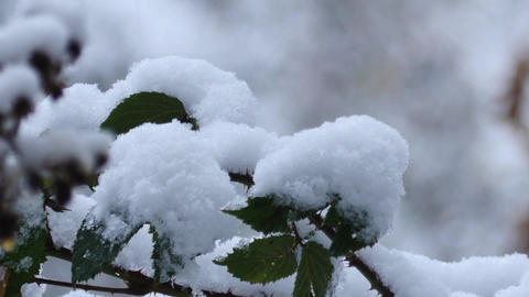 Close up of a thick layer of snow on green leaves of blackberry Footage