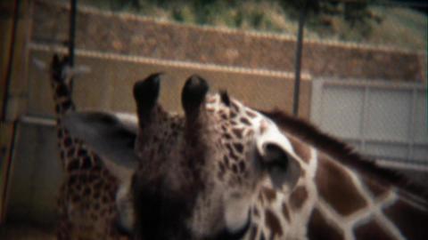 1972: Giraffe head closeup at zoo walking in modern concrete habitat Footage