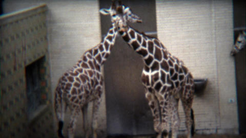 1972: Giraffes hugging and walking around in big new zoo Footage