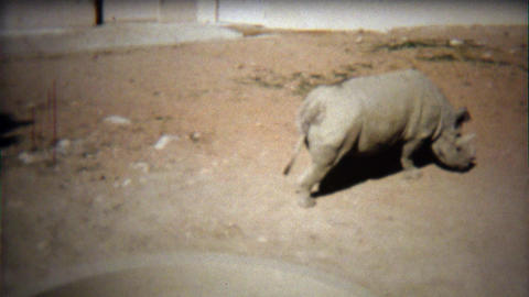 1972: Black Rhinoceros roaming dirt covered zoo habitat floor Footage