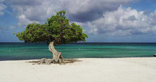 The Divi Divi Tree on Eagle Beach at Sunset, Aruba Live Action