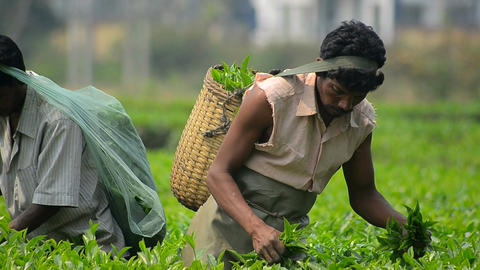 Mid close shot of tea worker collecting leaves 2 Footage