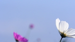 Swinging cosmos flower at slow motion Footage