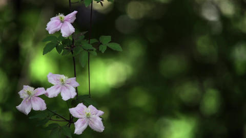 Clematis rival the beauty and morning glory flowers 1 Footage