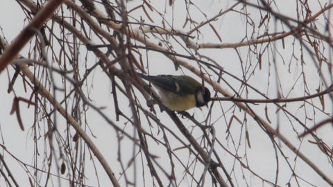 Tit Sitting On The Branch Of A Birch stock footage