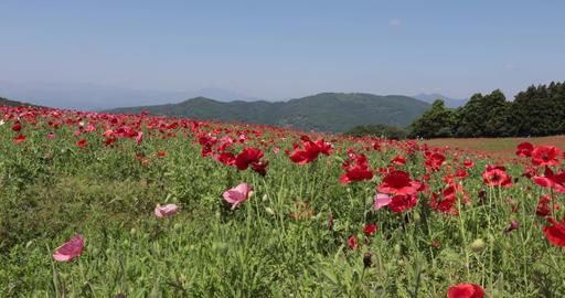 Poppy flower ビデオ