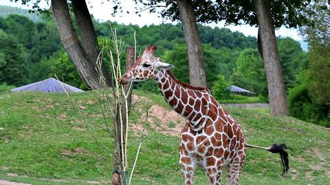 Reticulated giraffe (lat. Giraffa camelopardalis reticulata) Footage
