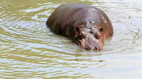 Hippopotamus (lat. Hippopotamus amphibius) Footage