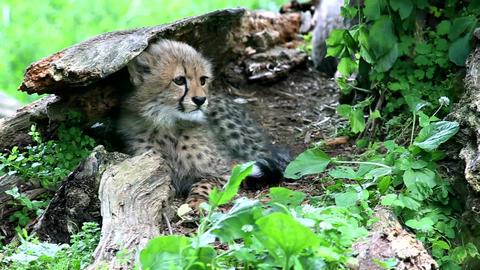 Cheetah (lat. Acinonyx jubatus) Footage