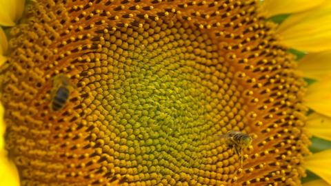 Bees on sunflower Footage