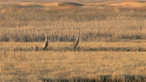 Sandhill Cranes Footage