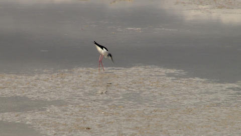 Black-necked Stilt Footage