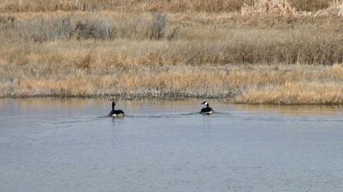 Geese Footage