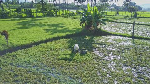 Farmer in Hat Gathers Salad on Wet Field by Palm Tree Footage