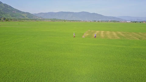 Flycam Moves to People Walking among Rice Fields against Hills Footage