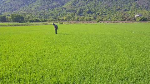Man Walks Sprinkling around Rice Field against Hills Footage