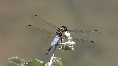 Macro picture of dragonfly on the leave Filmmaterial