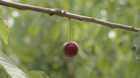 The red cherry on a tree in the garden close-up view Footage