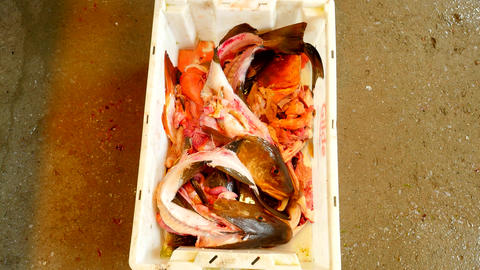 Workers hand throws fish skeleton into crate. Skeleton of cod fish after removin Image