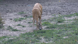 Juvenile female roe deer Footage