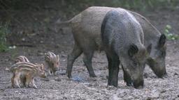 Wild hogs feeding Footage
