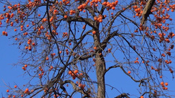 Tilt down of bare Persimmon tree with orange fruits on blue sky stock video Footage