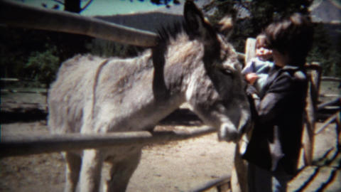 1971: Mother and toddler petting large donkey behind fence Footage