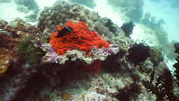 Coral reef and tropical fish.Philippines Footage