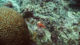 Coral reef and tropical fish, lionfish. Philippines Footage