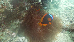 Clownfish Anemonefish in anemone Footage