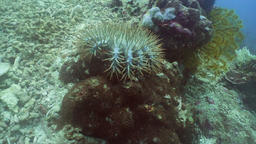 Crown thorns starfish on coral Footage