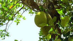 Jackfruit on the tree Footage