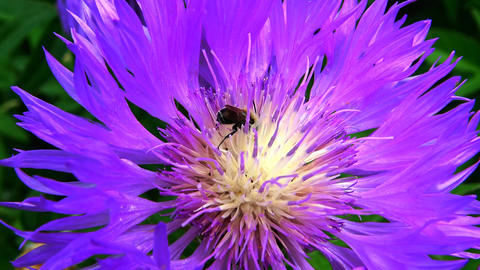 The bee collects honey on a purple flower Live Action