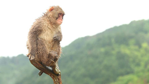 Japanese Monkey In The Rain Footage
