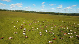 Cows grazing on pasture Footage