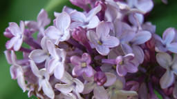 Lilac flower on a summer day Footage