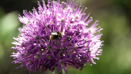 Bee on the flower,close up ビデオ