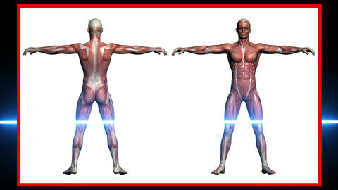 scan of Human Anatomy , Male Muscles - 3d rendering Animation