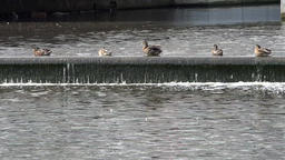 Denmark Scandinavia coastal city of Aarhus row of ducks on a water weir Footage