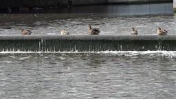 Denmark Scandinavia coastal city of Aarhus row of ducks on a water weir Footage
