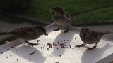 pugnacious sparrow Footage